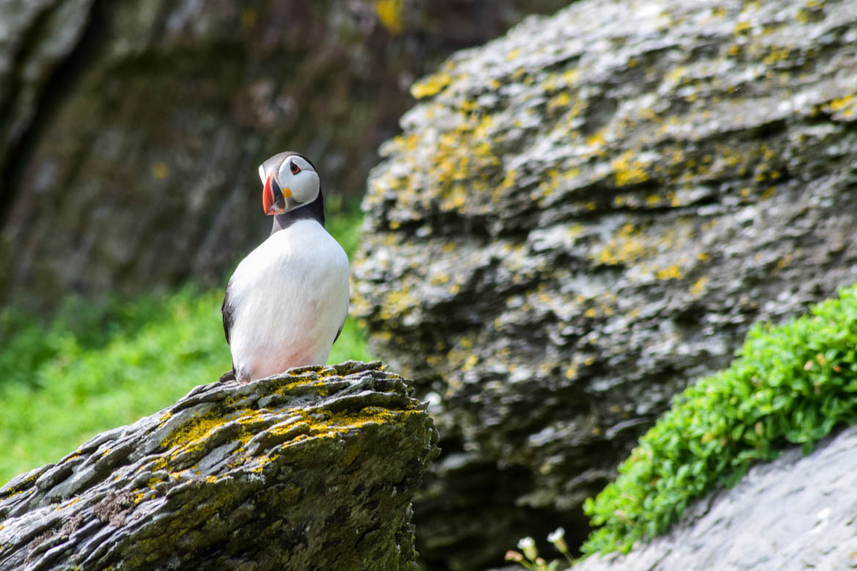 Puffins on Skellig Island - Ireland