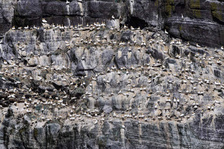 Oiseaux sur Skellig Island - Ireland