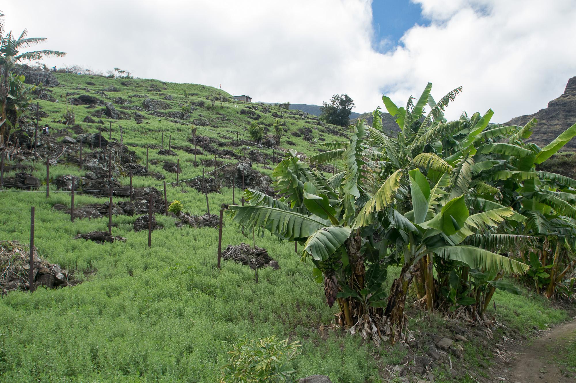 Champs de lentilles à Cilaos, La Réunion