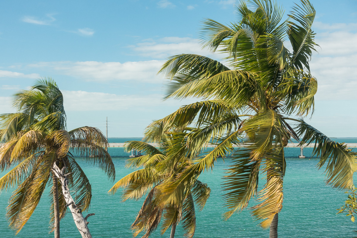 Palm trees in Keys; Florida