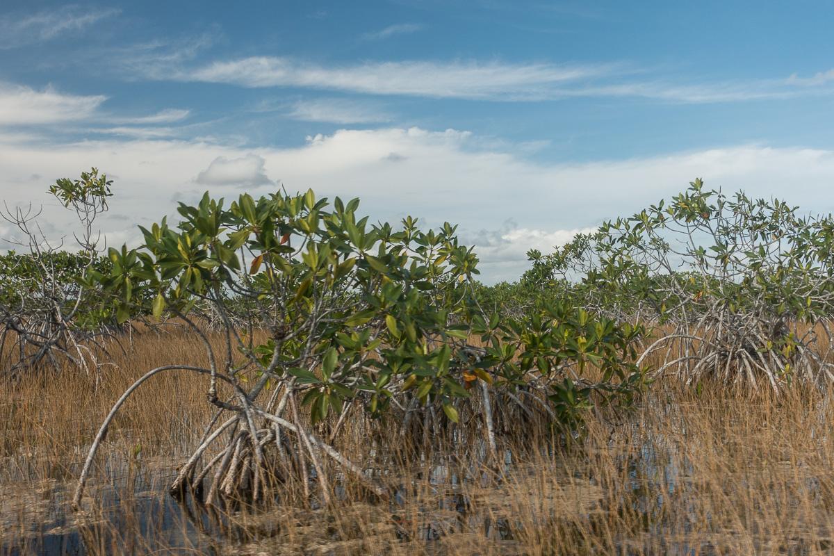 Mangrove, Everglades, Floride