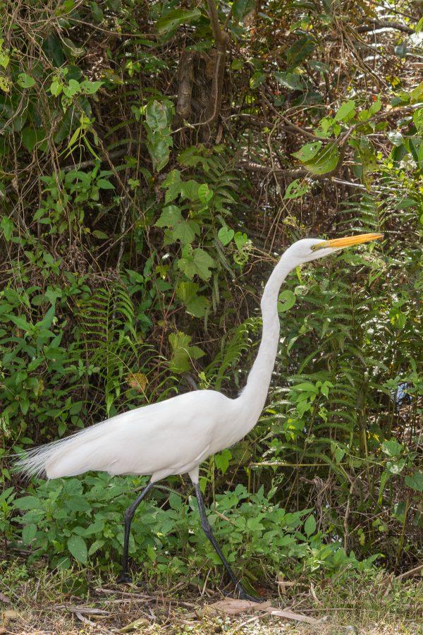 Aigrette, Everglades, Floride