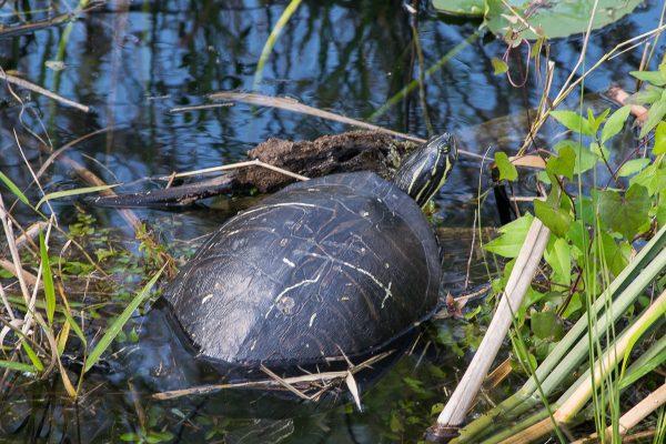 Tortue, Everglades, Floride