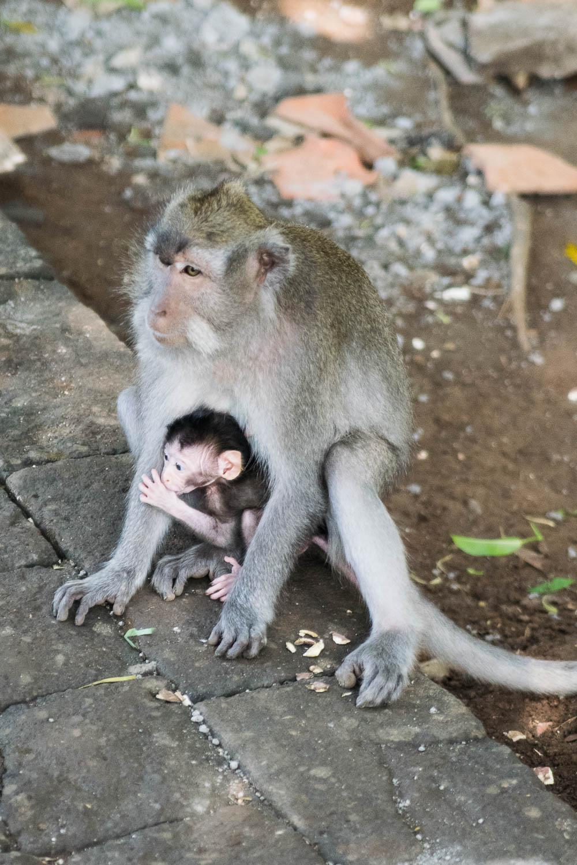 Singe et son bébé dans la Monkey Forest d'Ubud, Bali