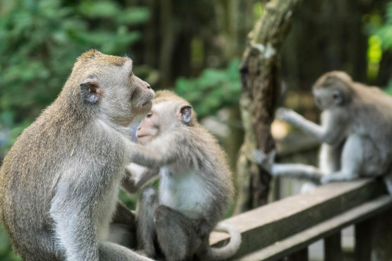 Singes au cœur de la Monkey Forest, Ubud, Bali